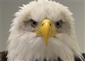 Bald eagle....USA