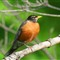 American Robin on one foot!
