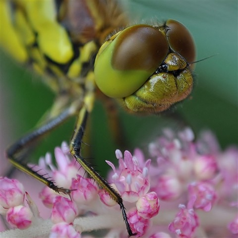 dragonfly close up 038 (1280x1280)