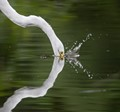 Great egret head reflection