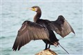 The Great Black Cormorant