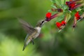 Ruby-throated Hummingbird & Bat Faced Cuphea Flowers