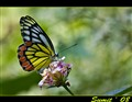 common jezebel butterfly (female)