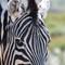 Zebras Eyes