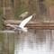 Egret in flight 1: