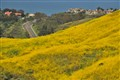 April yellow, San Clemente 010