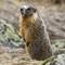 Marmot and Quail-20160809-0020