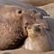Elephant Seal Love
