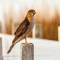 Adult Coopers Hawk