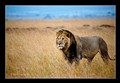 Mara-Male-lion-1 blk bdr