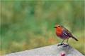 Robinkopie