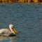 male breeding pelican small 2016