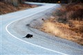 Why did the beaver cross the road?