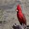 cardinal_3957