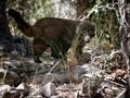 White nosed coati emerges