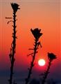 sunset triplet