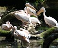 relaxed pelicans