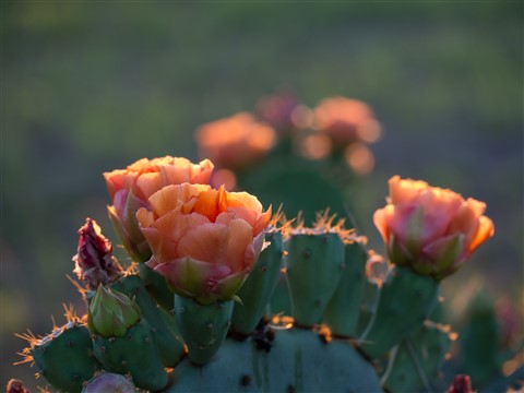 Prickly Pear Flowers at Sunset