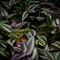 gaudy leaf frog 3