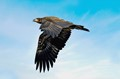 Bald Eagle 'Juvenile' in Flight