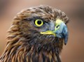 Sharp Eyed Golden Eagle