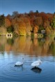 Stourhead Wiltshire 2 posing swans