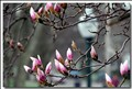Magnolia Buds in thanks for your votes