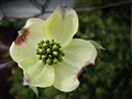 Dogwood - CROPPED