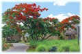 New Year. The Flowering Red Acacia Tree.