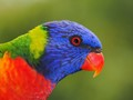 Rainbow Lorikeet (Trichoglossus moluccanus) Up Close and Personal.  On the treetop at Ku Ring Gai Chase National Park, Sydney, Australia.