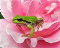 Pacific Tree Frog on Rose