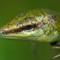 Lizard at Buka, New Guinea Islands