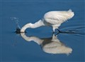Snowy Egret - Nobody sees me