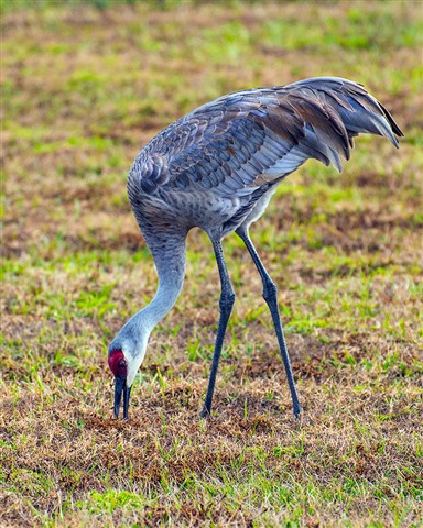 Sandhill Crane (Grus canadensis) feeding near Viera Florida