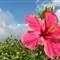 red hibiscus vaemali