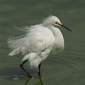 Snowy Egret in Display Mode