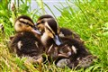 Snuggly Ducklings