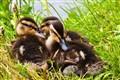 Snuggly Ducklings
