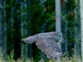 Great Gray Owl In-Flight