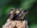 3 recently fledged pacific swallow's chicks.