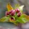 Apple Blossom Bud Macro
