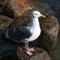Sea Gull by Morro Bay