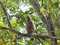 Indian eagle in Bandhavgarh National Park