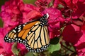 Monarch on Bougainvillea