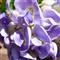 zs3-wisteria-crop