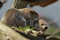playful woodchucks
