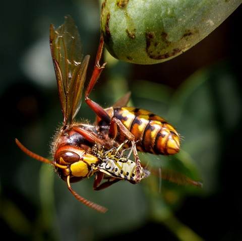 Hornet eats a bug for lunch