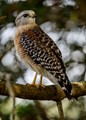 Red Shouldered Hawk on a tree branch.