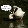 Stuck Pelican