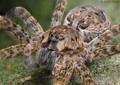 A fishing spider